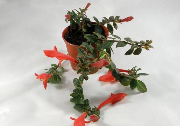 Прекрасный цветок колумнея, фото и описание популярных видов