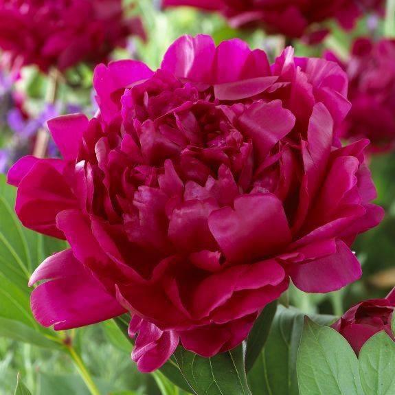 Пион коллис мемори (paeonia callie's memory)
