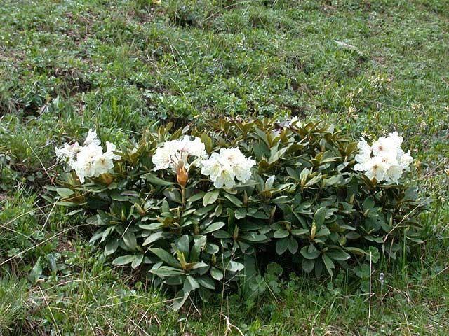 Кавказский рододендрон: лечебные свойства, противопоказания, фото
