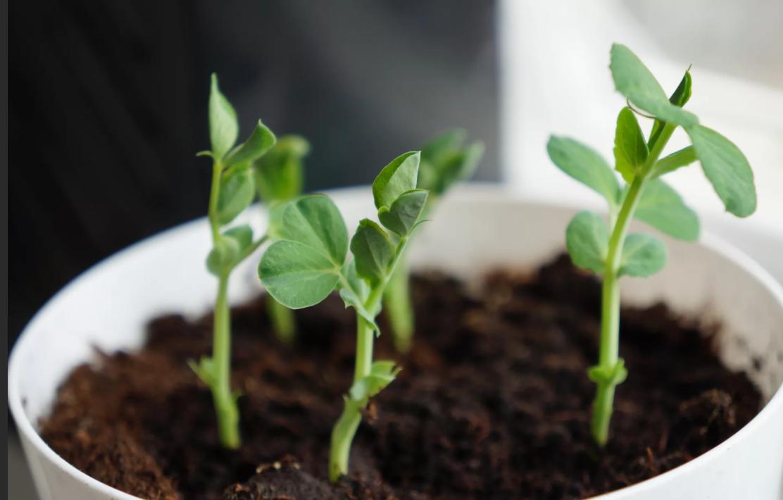 Секреты выращивания гороха в открытом грунте. как собрать богатый урожай
