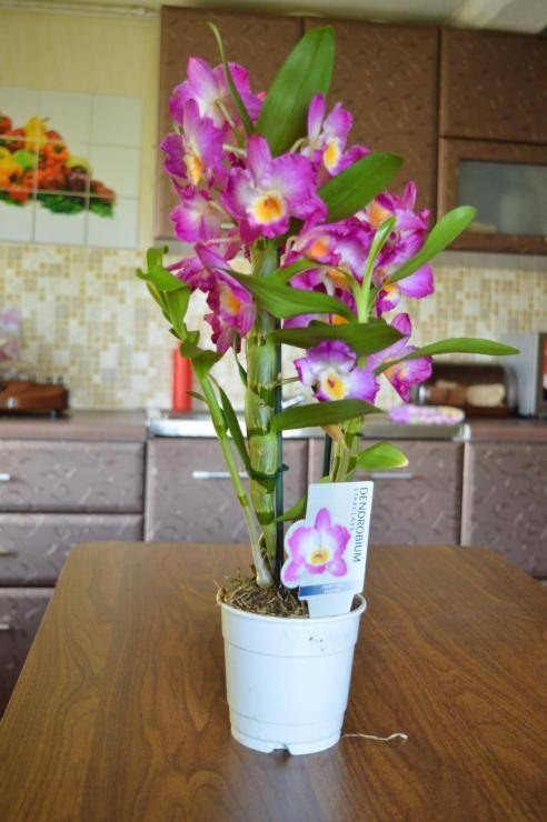Дендробиум - уход в домашних условиях, фото, размножение
