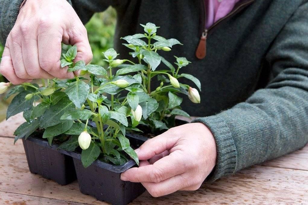 Фикус лировидный — любимец цветоводов