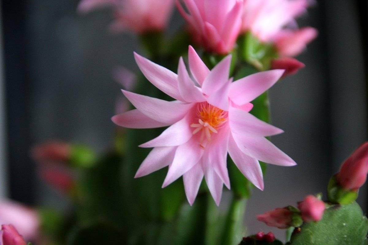 Рипсалидопсис (пасхальный кактус): уход в домашних условиях