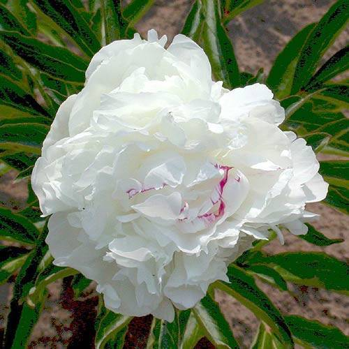 Сорта розовых пионов, их особенности и правила ухода