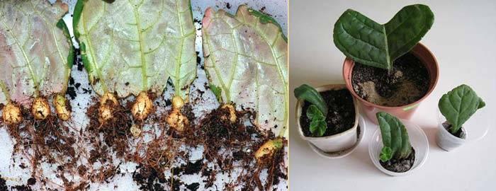 Удивительная глоксиния. сложно ли выращивать такой экзотический цветок дома?