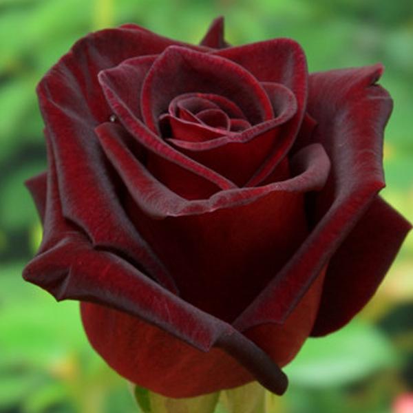 Роза блэк баккара (black baccara) — описание сорта