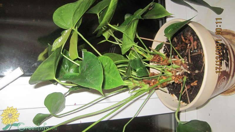 Почему не цветут спатифиллумы: выпускают только листья, как заставить цвести