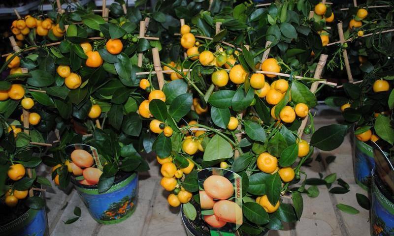 Как посадить мандарин в домашних условиях правильно: описываем в общих чертах