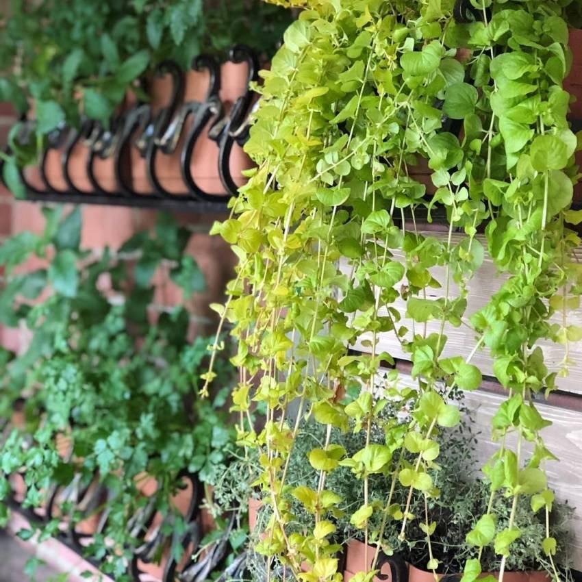 Дихондра «изумрудный водопад»: выращивание из семян - подробная инструкция!