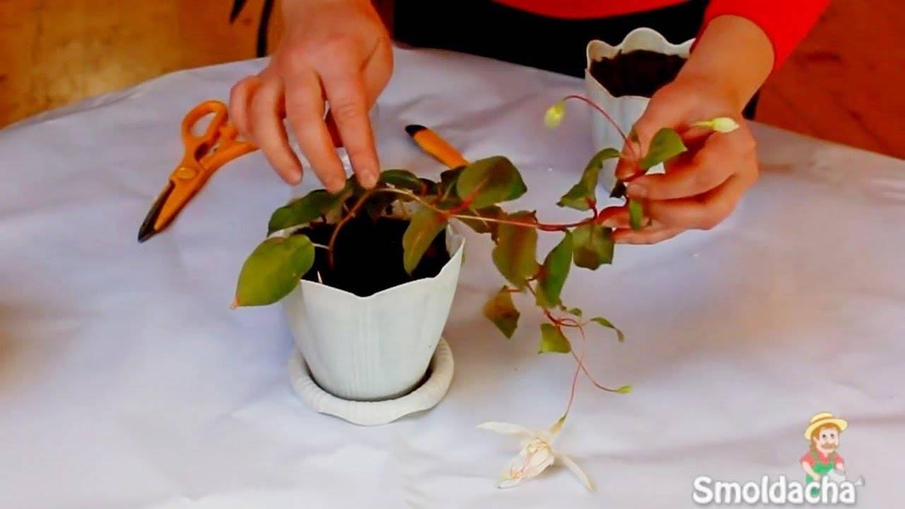 Размножение фуксии: разведение отростком, листом и семенами в домашних условиях, осенью и в другое время