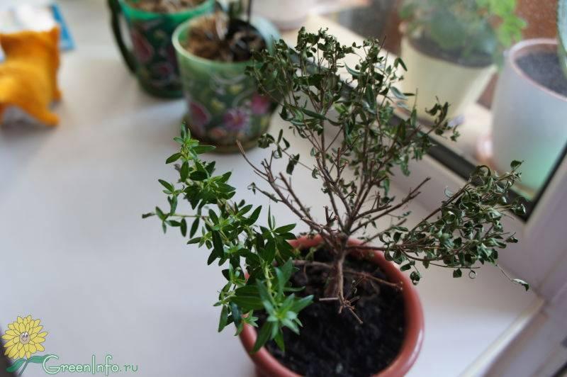 Как укоренить мирт черенком в воде и другие способы размножения цветка