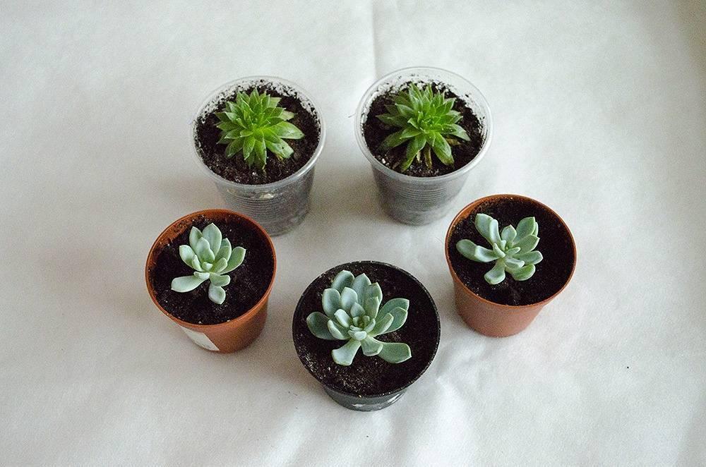 Как ухаживать за аптенией в домашних условиях: размножение растения суккулента