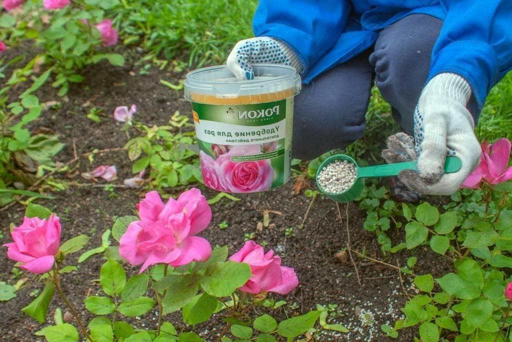 Уход за розами во время цветения и после окончания
