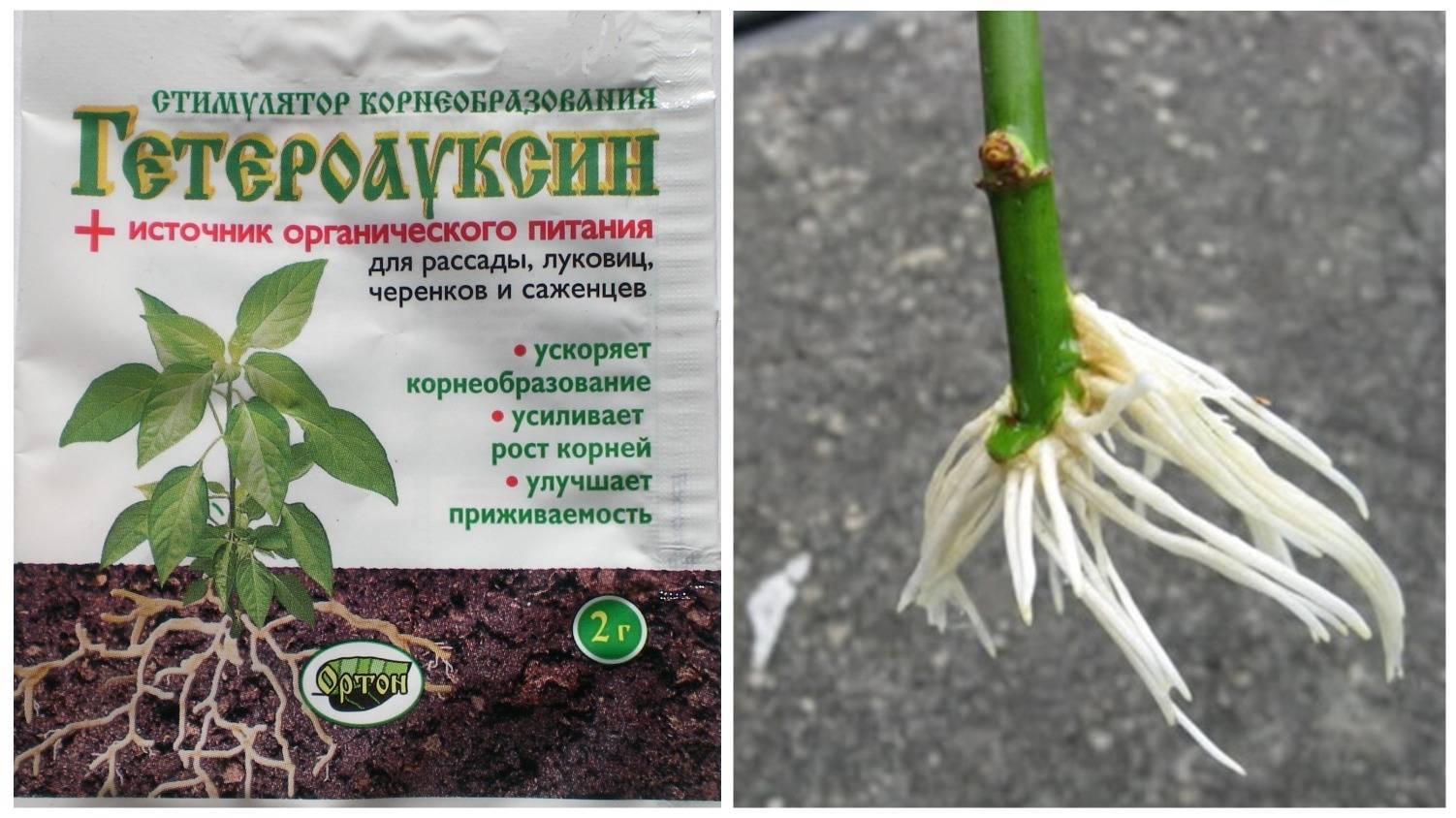 Устраняем последствия неправильного ухода за орхидеей: как нарастить корни у фаленопсиса?
