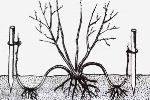 Как правильно размножать фирзицию черенками весной