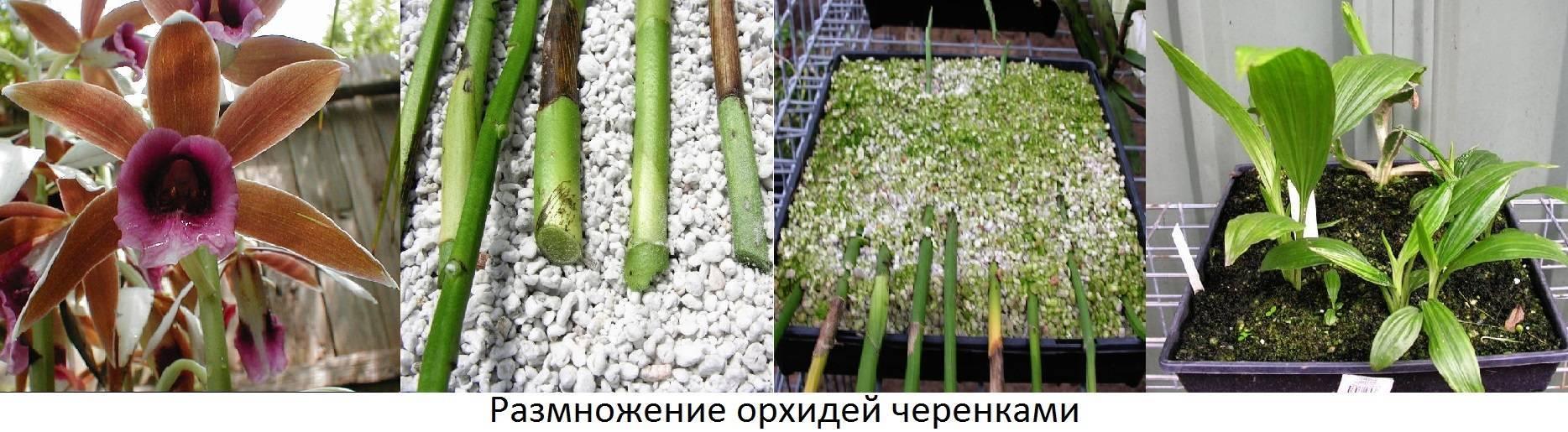 Детка орхидеи на цветоносе: примеры как вырастить и укоренить