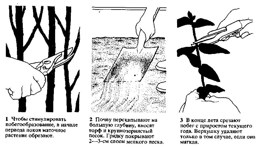 Размножение актинидии
