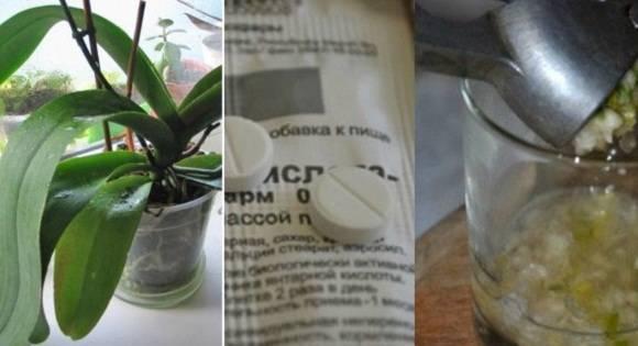 Использование чесночной воды для орхидеи: как подкармливать и поливать, разводить