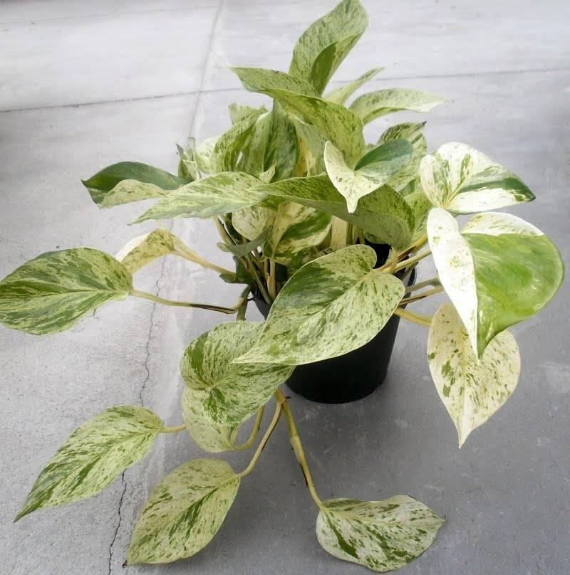 Сциндапсус: 6 видов с фото и особенности выращивания