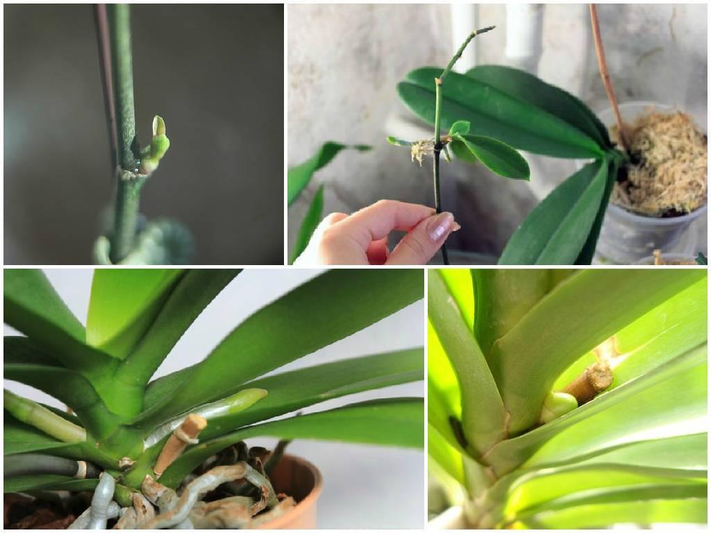 Как отсадить детку орхидеи: варианты в домашних условиях