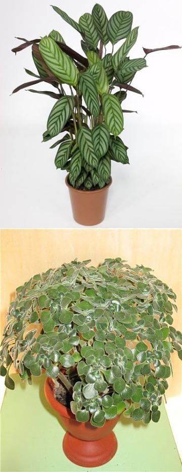 Комнатные растения, которые принесут любовь и семейное счастье в ваш дом