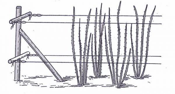 Крыжовник: место для посадки, подготовка ямы и саженца, схема посадки и инструкция по высадке