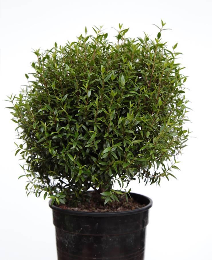 Вечнозеленое деревце с аккуратной кроной мирт: уход в домашних условиях, советы цветоводам по выращиванию растения с яркой зеленью и высокой декоративностью