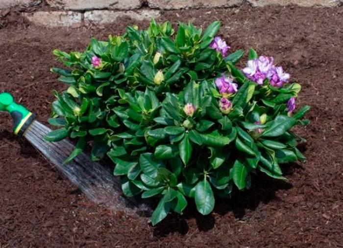 Как вырастить рододендрон в саду