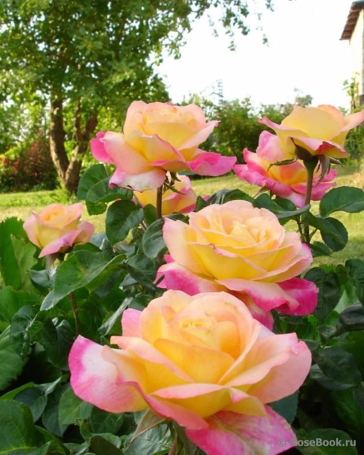 Изящное украшение сада — роза восточный экспресс: фото, описание и секреты выращивания