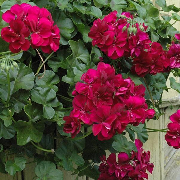Королевская герань: размножение и уход за цветком в домашних условиях