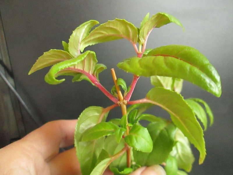 Посадка, выращивание и уход за фуксией в домашних условиях