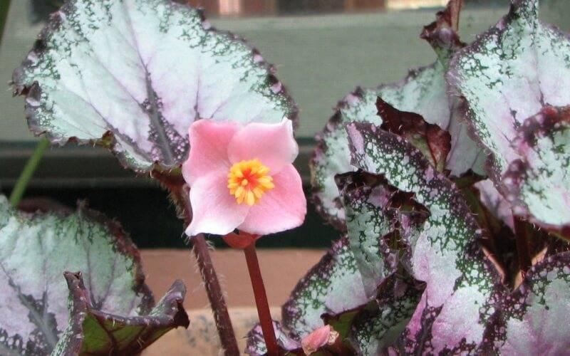 Бегония декоративно-лиственная и декративно-цветущая