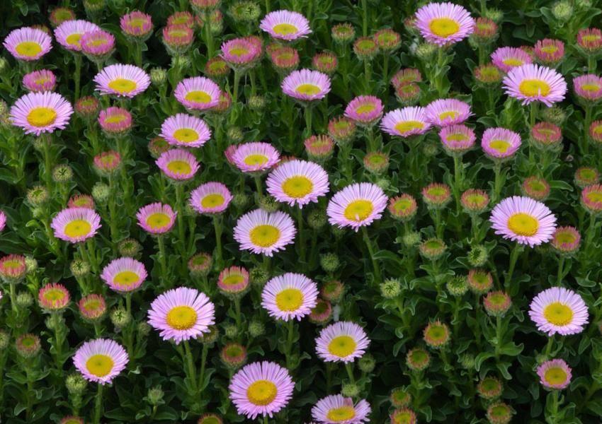 Калибрахоа: особенности, посадка и выращивание цветка