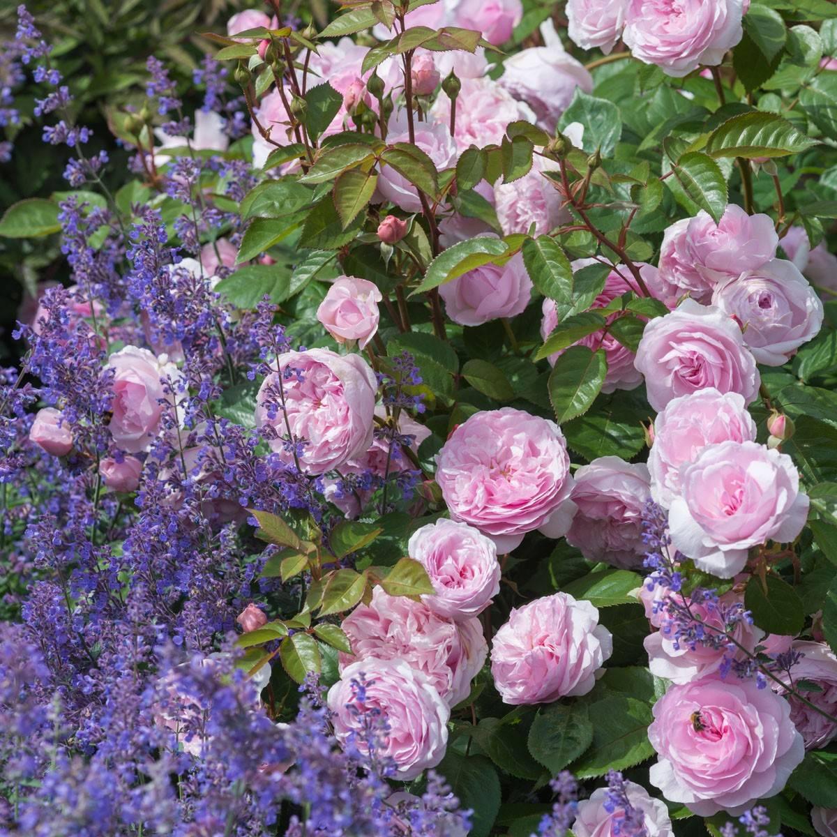 Роза Оливия Роуз (Olivia rose) — описание сортового кустарника