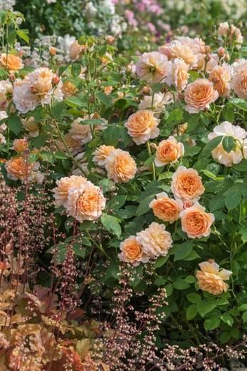 Розы - питомник саженцев роз гранди - флора  кфх грандифлора