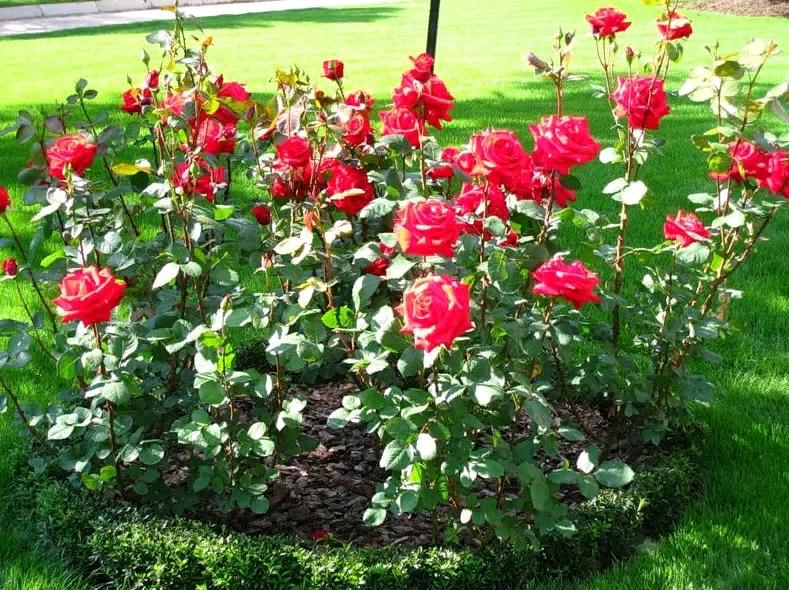 Роза барок (barock) — описание германского сорта
