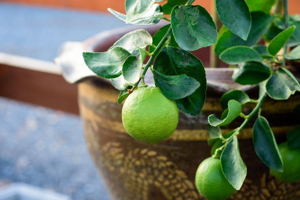 Секреты выращивания разных цитрусовых в домашних условиях