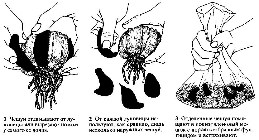 Нужно ли выкапывать крокусы после цветения: как правильно хранить луковицы зимой