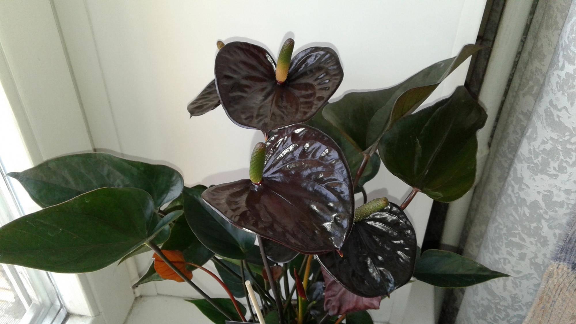 Антуриум с черными цветами: разновидности и особенности выращивания