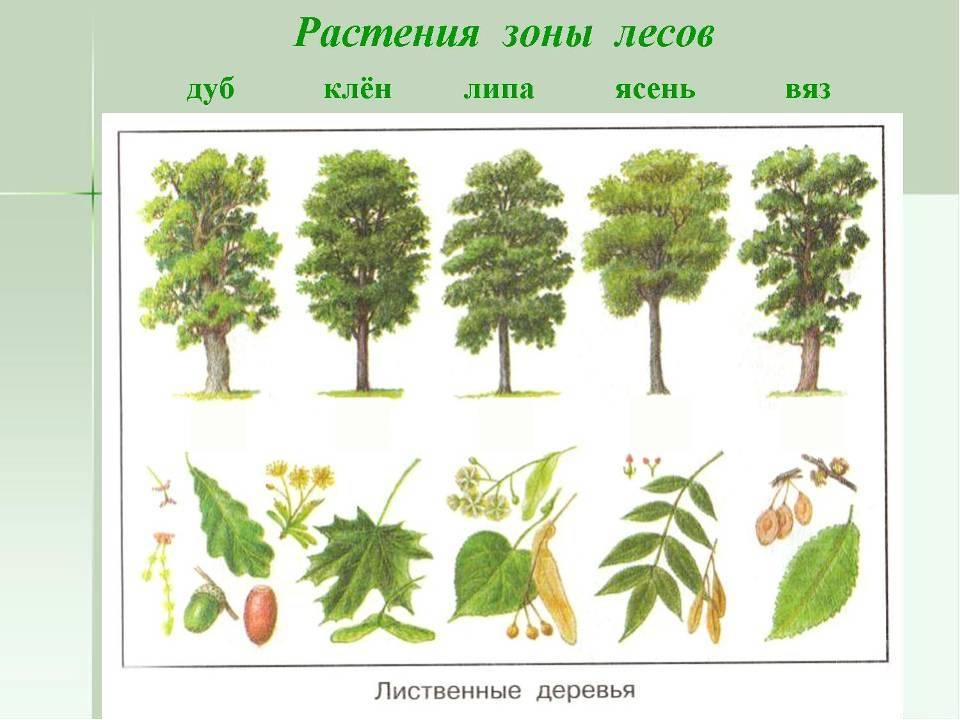 Быстрорастущие деревья - породы и темпы их роста