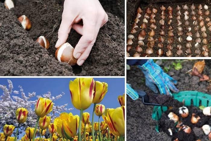 Посадка тюльпанов весной в 2020 году