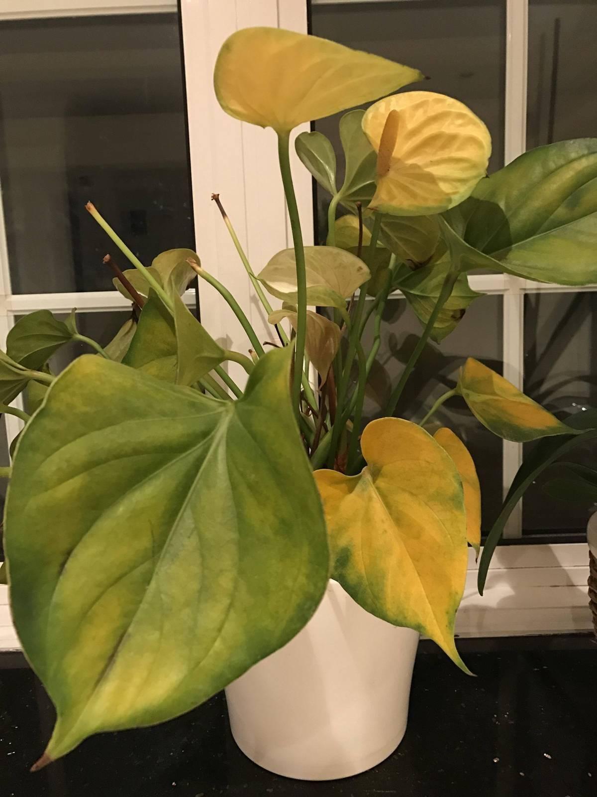 Что делать если у антуриума желтеют и опадают листья?