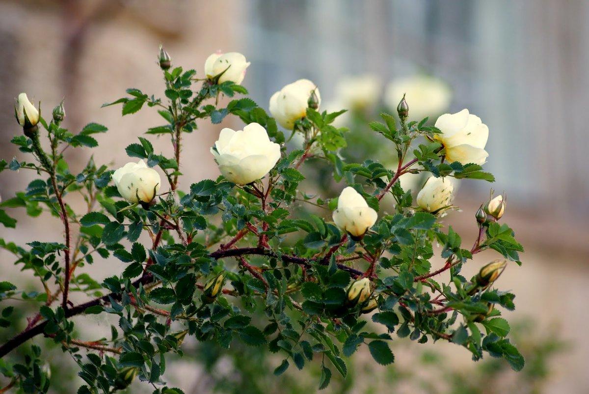 Роза без шипов (40 фото): обзор сортов с названиями. описания растения «лакорн», а также кустовых красных и розовых бесшипных роз