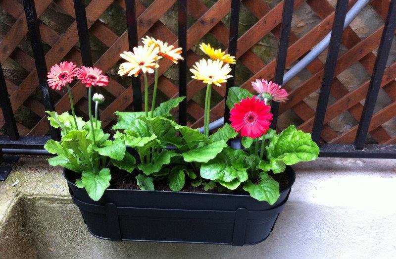 Как вырастить герберу: все об особенностях цветка, условиях посадки и ухода за ним в домашних условиях, способах размножения, болезнях и вредителях