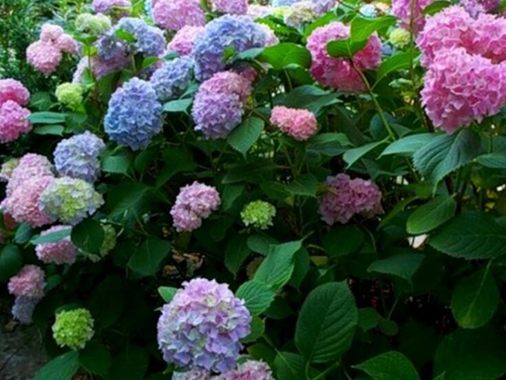 Гортензии макрофилы: описание сортов, посадка и уход, особенности выращивания, полив и освещение
