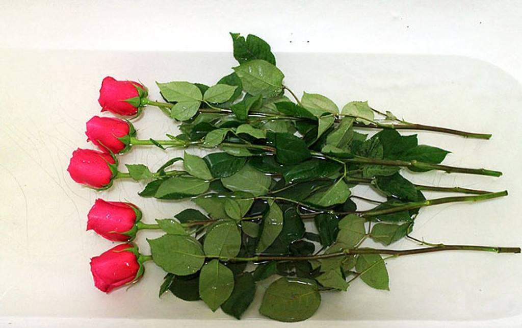 Как оживить розу в домашних условиях: почему погибает комнатный цветок в горшке, можно ли реанимировать, как спасти, а именно что делать, если растение пропадает?