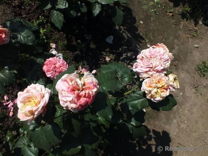 Описание и особенности выращивания чайно-гибридной розы