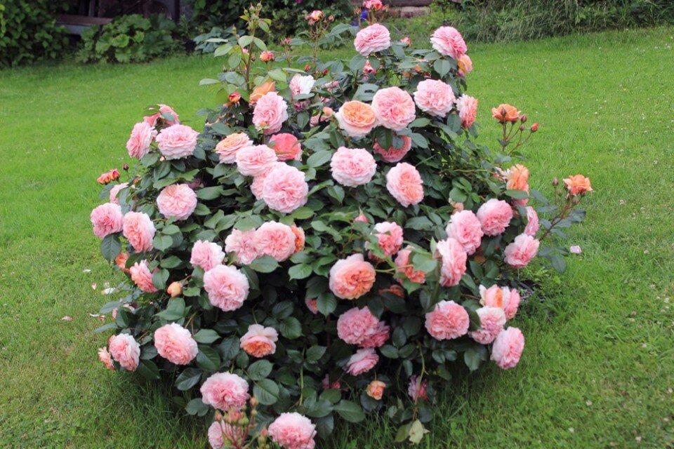 Агротехнические тонкости выращивания розы осиана: уход за чайно-гибридным сортом