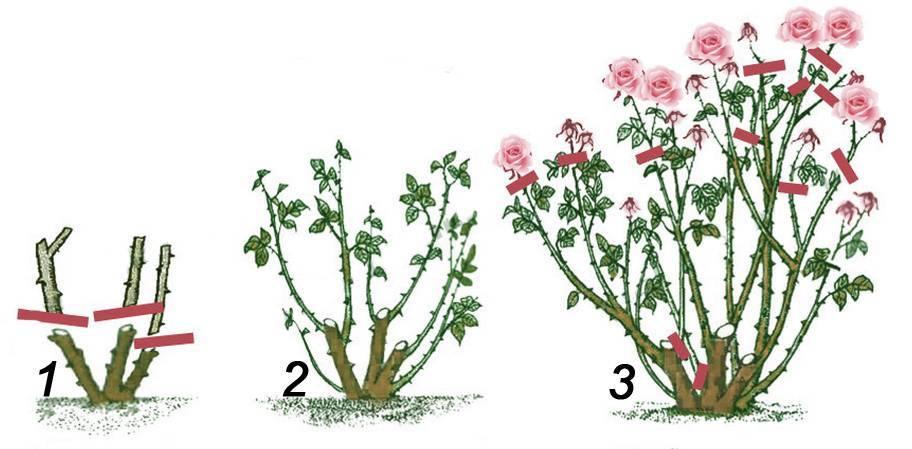 Как обрезать розы на зиму — когда это лучше делать