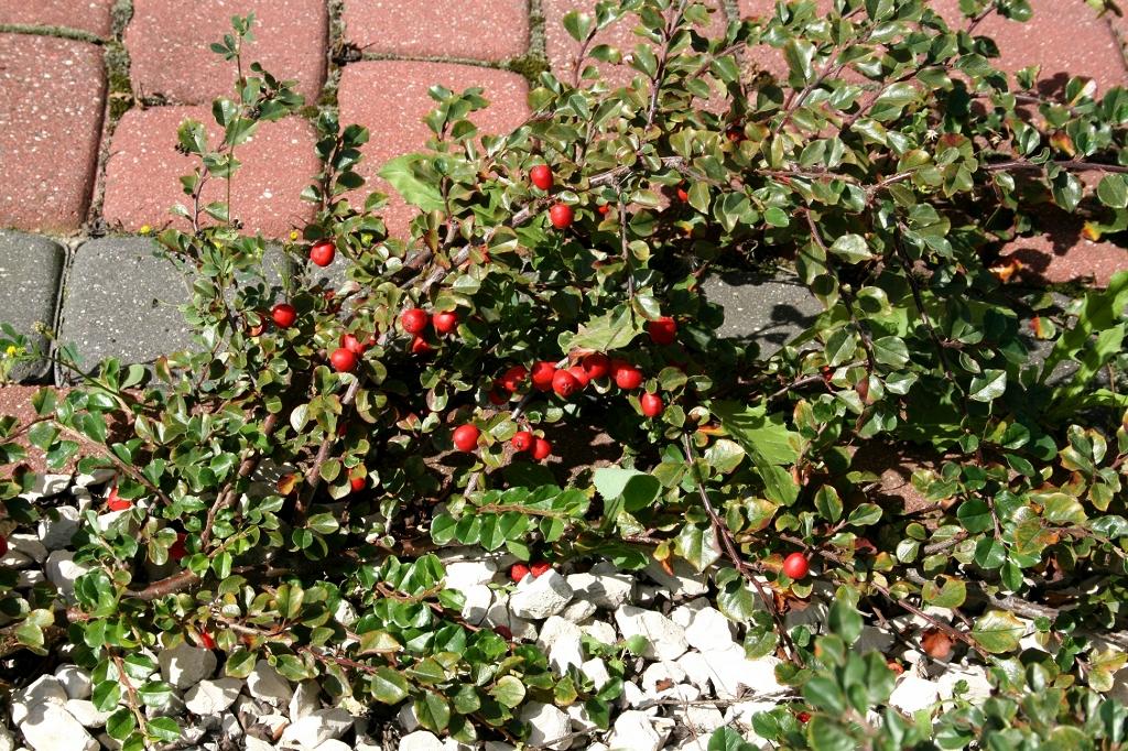 Посадите кизильник – декоративный, неприхотливый и целебный!
